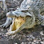 Krokodilfarm Kuba
